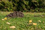 nowy kopiec kreta na trawniku w ogrodzie