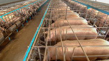Curious Pigs In Pig Breeding F...