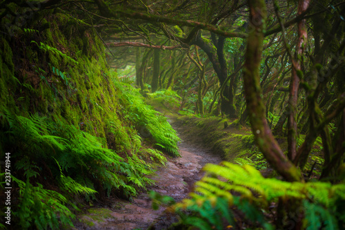 Fotografie, Obraz Path in Anaga Rainforest on Tenerife island, Spain.