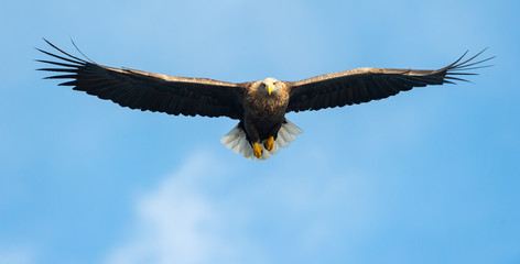 Adult White-tailed eagle in flight. Front view. Blue sky background. Scientific name: Haliaeetus albicilla, also known as the ern, erne, gray eagle, Eurasian sea eagle and white-tailed sea-eagle.