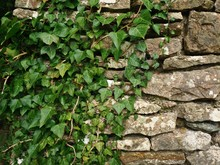 Ivy Leaves Growing Over The Su...
