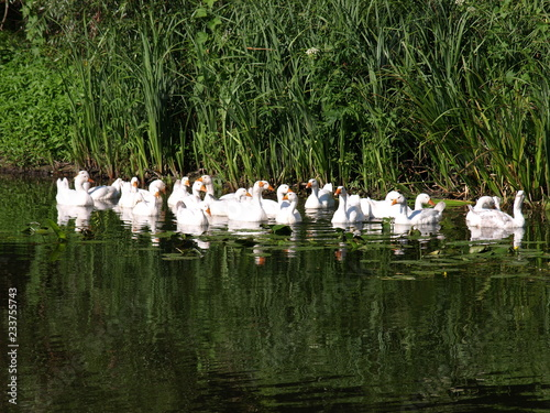 Photo White ducks swimming in the pond together. Home farm concept
