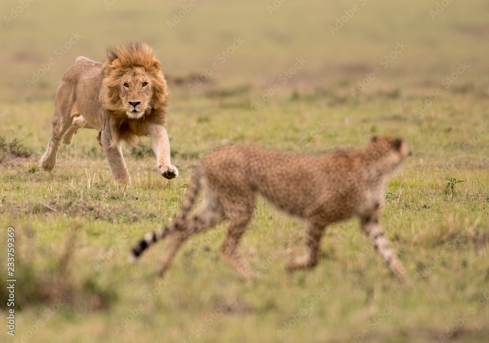 Fototapeta Male lion and cheetah in Masai Mara Gsme Reserve, Kenya