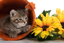 Kitten In Orange Bucket With F...