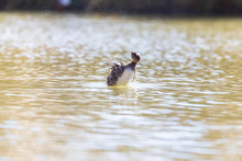 A Pied-billed Grebe Shaking Off Some Water While Floating In A Pond