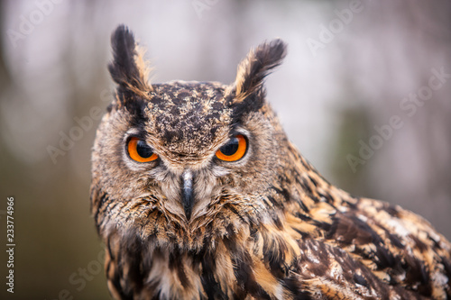 Obraz Eurasian Eagle Owl (Bubo bubo), flying bird with open wings with the autumn forest in the background, animal in the nature habitat. - fototapety do salonu