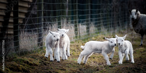 Lambs at Play, Watched by a Mother Canvas Print