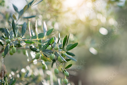 Olive trees in sunny evening. Olive trees garden. Mediterranean olive field ready for harvest. Italian olive's grove with ripe fresh olives. Fresh olives. Olive farm.