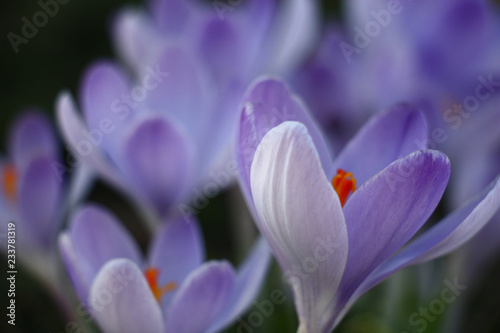Fotobehang Krokussen Indistinct flower forms of large blue crocuses create a tenderness picture.