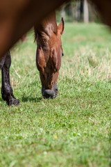 wild horses close up feeding in the green meadow