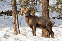Bighorn Ram In The Snow (with ...