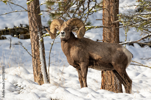 Photo Bighorn Ram in the Snow (with grass)