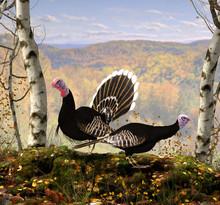 Male And Female Wild Turkey In...