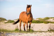 A Wild Pony (Equus Caballus) A...
