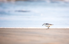 A Sanderling (Calidris Alba) Foraging For Food Along The Water's Edge At Assateague Island National Seashore, Maryland