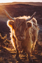 Cattle In The Isle Of Skye, Sc...