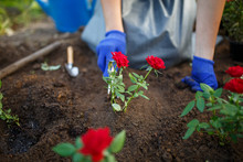 Photo Of Young Agronomist Woman In Rubber Glovers Planting Red Roses In Garden