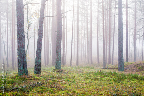 Foto op Aluminium Bossen Cloudy autumn day in the forest. Morning fog and green pine trees. Kemeri. Latvia