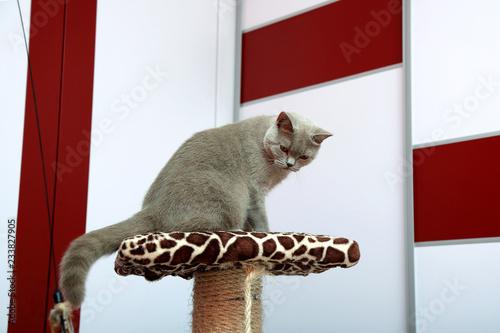 Photo Rasowy szary kot brytyjski w mieszkaniu na drapaku.
