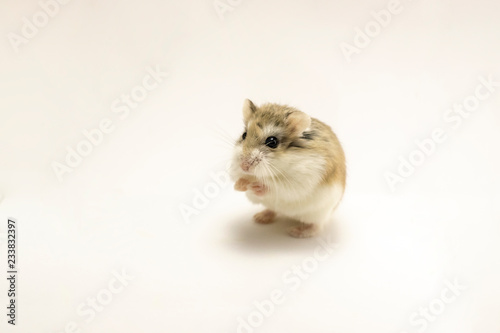 Roborovski hamster isolated on white background, hands
