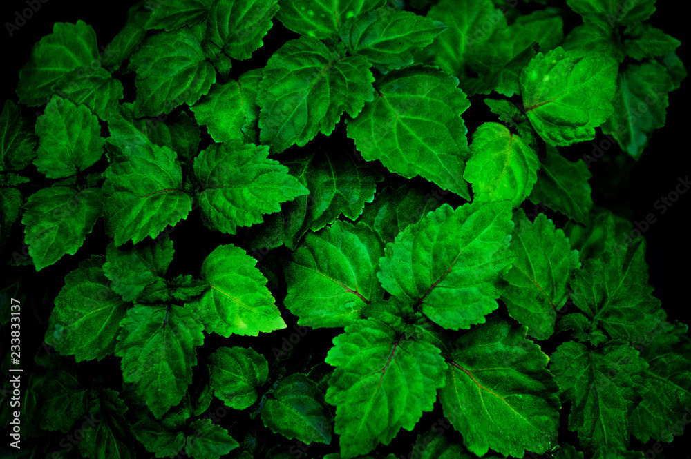 Fotografía  A lush healthy green patchouli plant is wet from being rained on making colors more intense