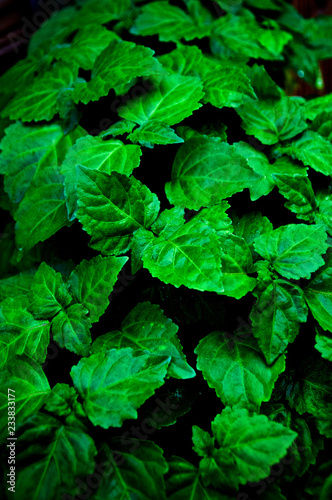 Cuadros en Lienzo A lush healthy green patchouli plant is wet from being rained on making colors more intense