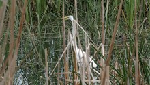 Great Eastern Egret Remains Very Still As It Is Fishing For Food In An Australian Marsh Or Pond.