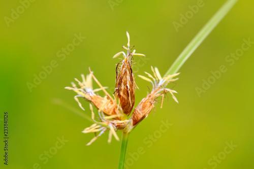 Fotografie, Obraz  cyperaceae plant flowers