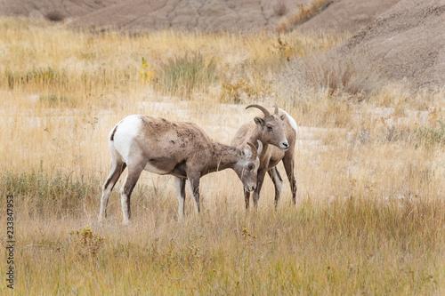 A herd of Big Horn Sheep