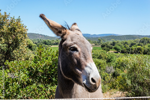 Donkey in a vineyard of Provence in summer
