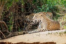 Mating Jaguars Resting