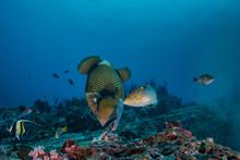 Titan Triggerfish, Balistoides...