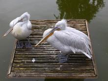Zwei Pelikane Sitzen Auf Einem Holzfloß Im Wasser