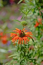 Leonotis Nepetifolia (also Kno...