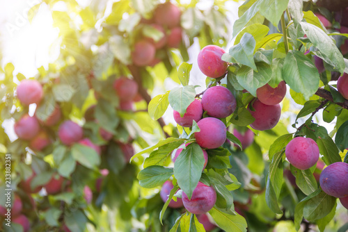 Fresh plums growing on a plum tree