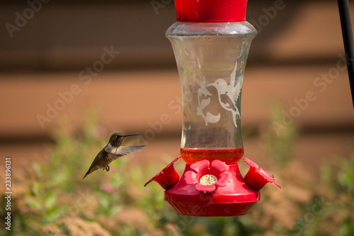 Fotografie, Obraz  hummingbird on feeder