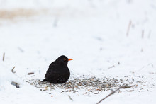 Blackbird Sits Among The Seeds In The Snow