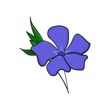Periwinkle Flower. Bud And Leaves Of Vinca.