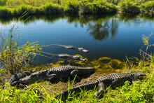 USA, Florida, Many Crocodiles ...