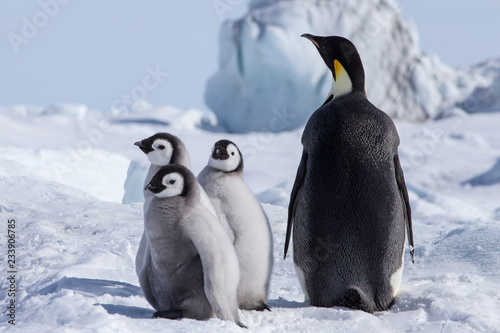 Emperor Penguin Chicks at Snow Hill Emperor Penguin Colony, October 2018.