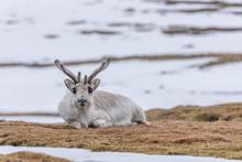 Resting Svalbard Reindeer