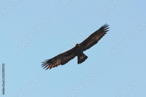 Aquila reale (Aquila chrysaetos) in volo,silhouette,sfondo cielo,adulto