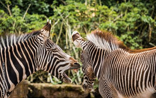 Tuinposter Zebra zebra scream zoo