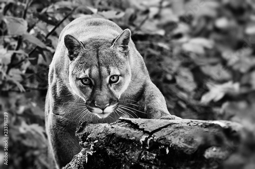 Spoed Fotobehang Puma Portrait of Beautiful Puma in autumn forest. American cougar - mountain lion, striking pose, scene in the woods, wildlife America