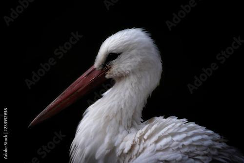 Fotografia White stork