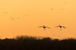 Sandhill cranes landing at sunset