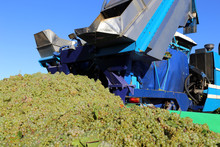 Harvesting Grapes With Harvester