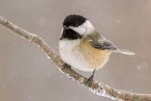 A Black Capped Chickadee Perched On A Branch