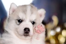 Light Grey Puppy Raising The Paw Up Closeup