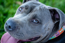 Extreme Close Up Of Blue Pit Bull Face With Smiling Eyes.